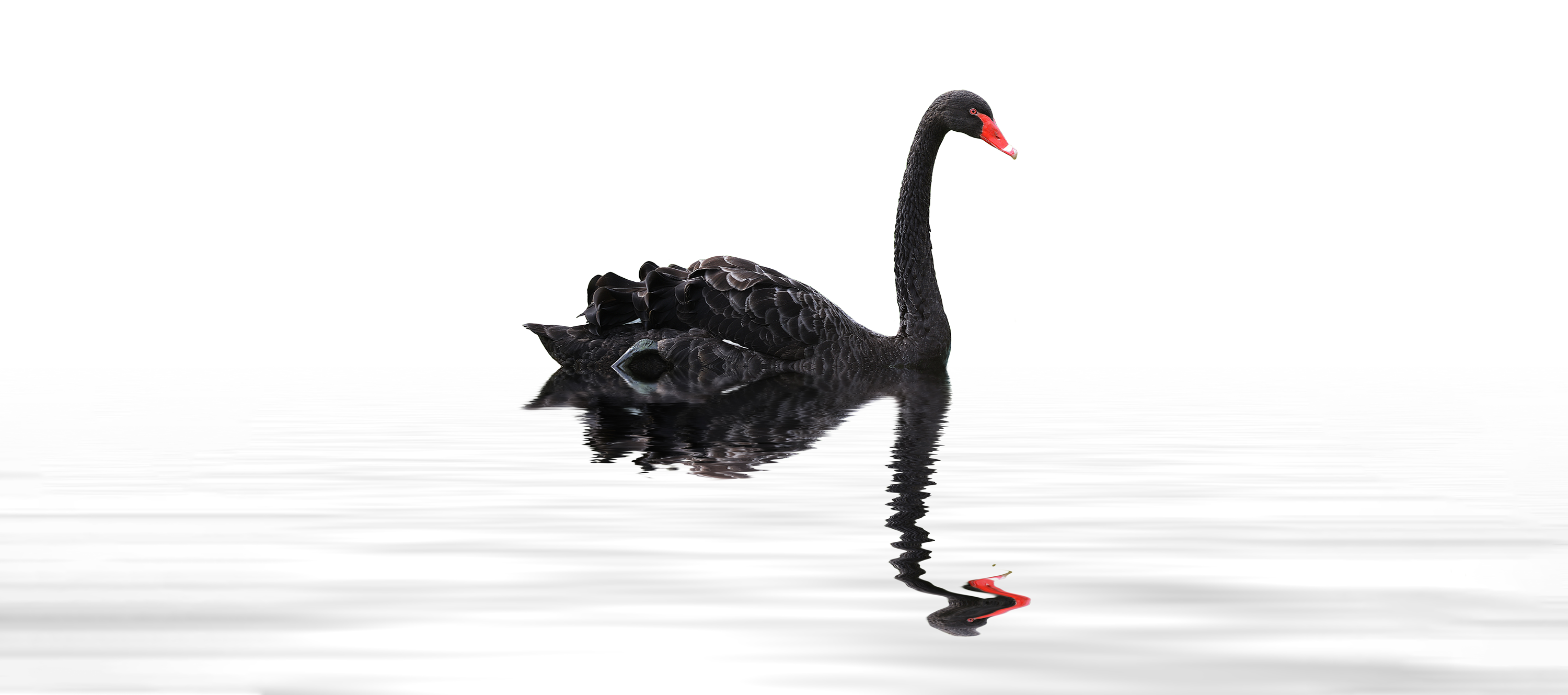 black swan floating on a pond
